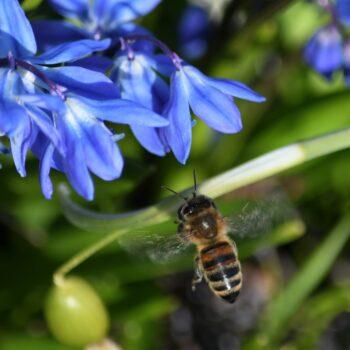 Vårblommor och bin