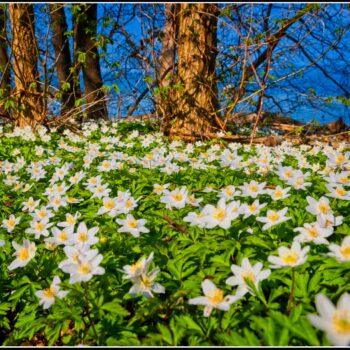 Våren vitsippor och havet