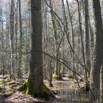 Våren - vår skog