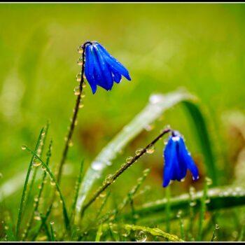 Våren i blått
