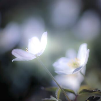 Våren-Vitsippa